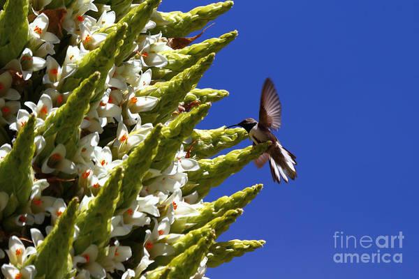 Bromelia Photograph - Andean Hillstar Hummingbird Feeding On Puya Raimondii Flowers by James Brunker