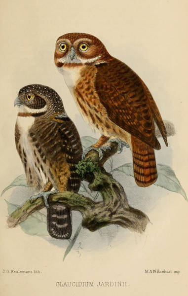 Wall Art - Painting - Andean Pygmy Owl by Dreyer Wildlife Print Collections