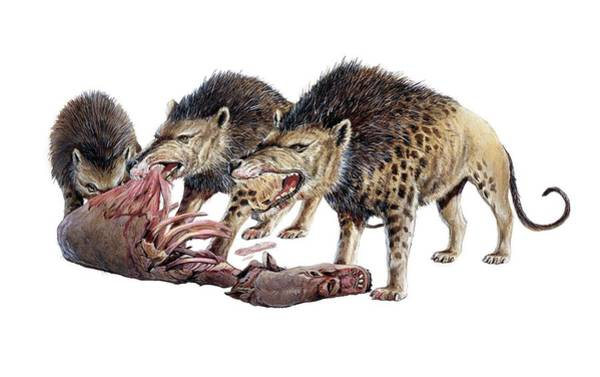 Ungulate Wall Art - Photograph - Andrewsarchus Scavenging Carrion by Michael Long/science Photo Library