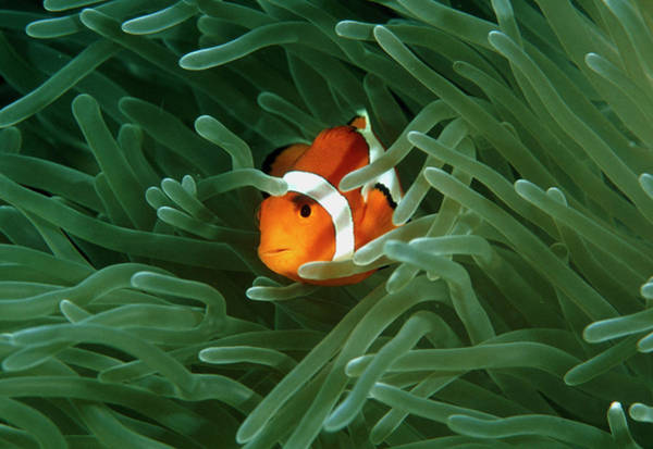 Anemonefish Photograph - Anemone Fish by Matthew Oldfield/science Photo Library