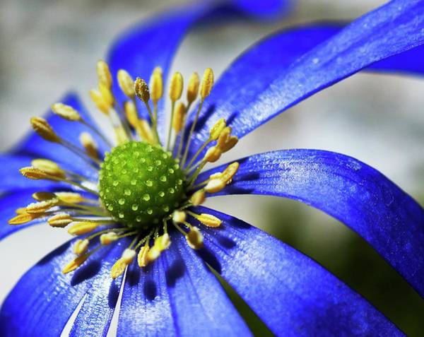 Carpel Photograph - Anemone Flower Head by Ian Gowland/science Photo Library