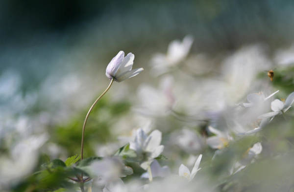 Photograph - Anemone Flower by Dreamland Media