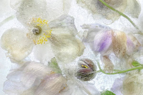 Plant Life Photograph - Anemone Frost by Mandy Disher