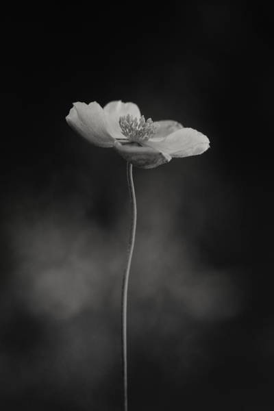 Wall Art - Photograph - Anemone Hupehensis by Lotte Gr??nkj??r