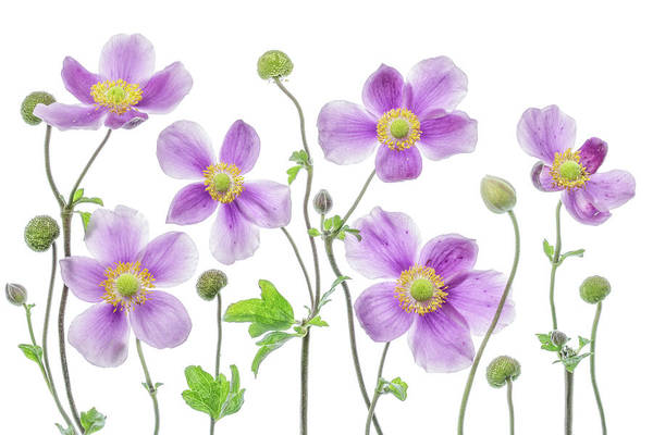 Asian Photograph - Anemone Japonica by Mandy Disher