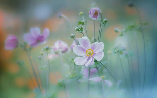 Blooming Wall Art - Photograph - Anemone by Miyako Koumura