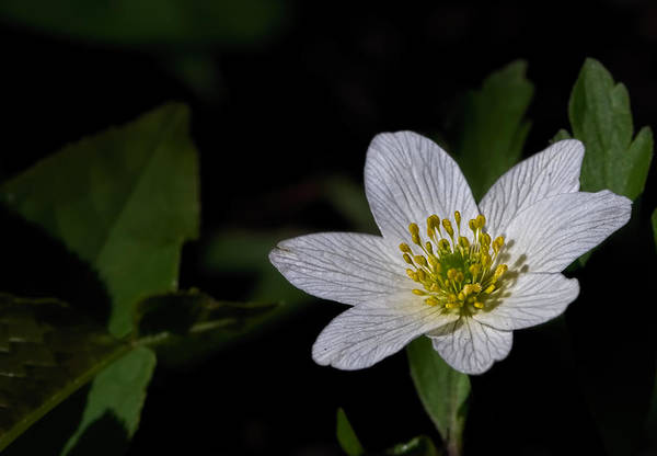 Photograph - Anemone Nemorosa  By Leif Sohlman by Leif Sohlman