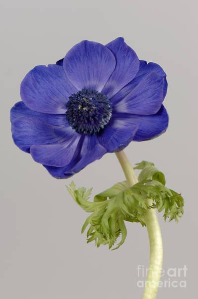 Photograph - Anemone by Nigel Cattlin