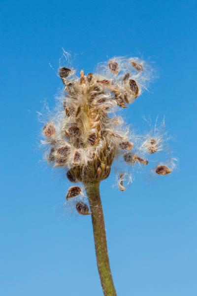 Photograph - Anemone Shedding Seeds by Steven Schwartzman