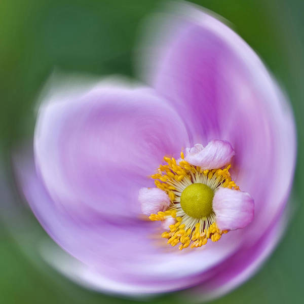 Photograph - Anemone Swirl by Diane Fifield