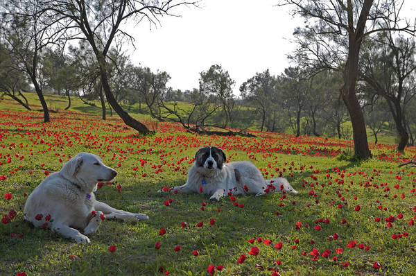 Photograph - Anemones And Dogs At Ruchama Forest Israel by Dubi Roman