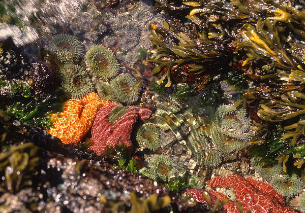 Wall Art - Photograph - Anemones And Seastars In Pool by Nancy Sefton