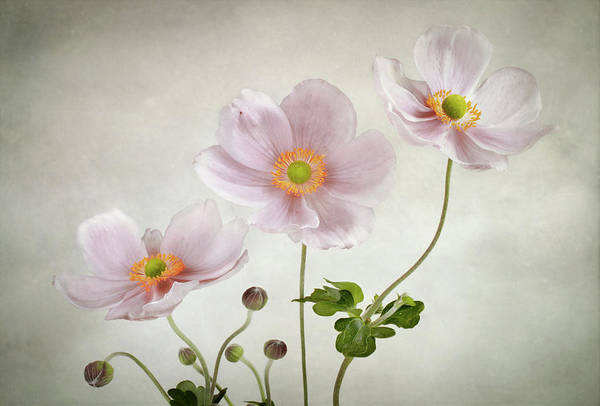 Filter Photograph - Anemones by Mandy Disher