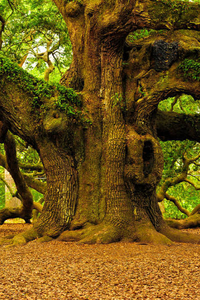 Photograph - Angel Live Oak Trunk by Louis Dallara