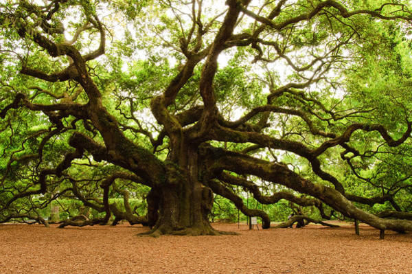 Carolina Photograph - Angel Oak Tree 2009 by Louis Dallara