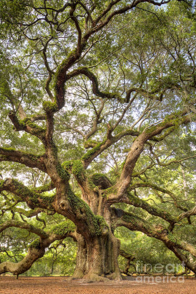 Big Island Photograph - Angel Oak Tree Johns Island Sc by Dustin K Ryan