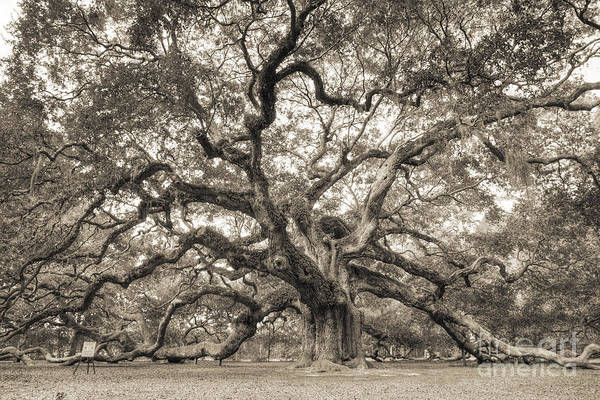 Angel Oak Tree Of Life Sepia Art Print