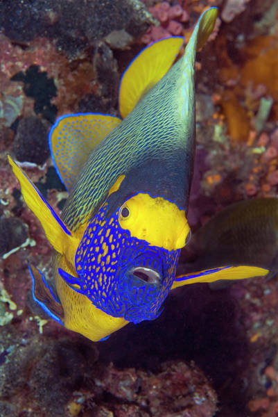 Trevally Photograph - Angelfish, Raja Ampat Islands, Irian by Jaynes Gallery