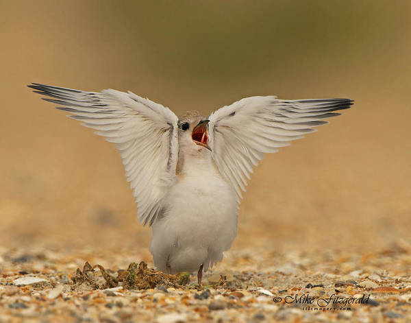 Photograph - Angelic Tern by Mike Fitzgerald