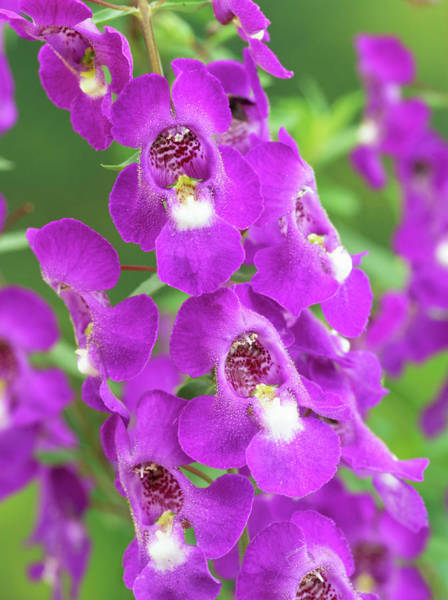 Wall Art - Photograph - Angelonia Flower by Geoff Kidd/science Photo Library