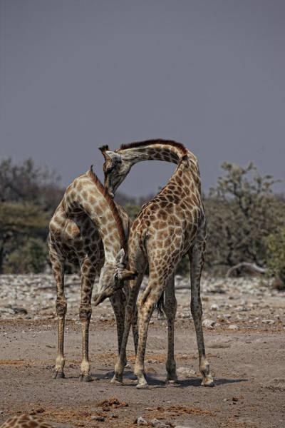 Urban Wildlife Photograph - Angolan Giraffe, Namibian Giraffe by David Santiago Garcia