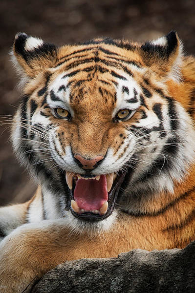 Photograph - Angry Cat by Emmanuel Panagiotakis