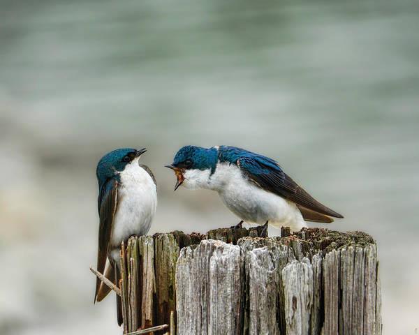Angry Swallow Art Print