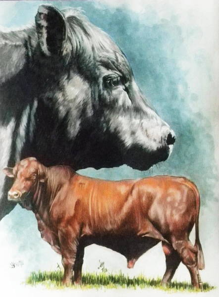 Mixed Media - Angus Cattle by Barbara Keith