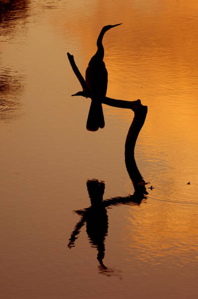 Photograph - Anhinga 8 by Arterra Picture Library