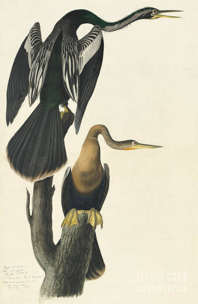 Drawing - Anhinga by Celestial Images