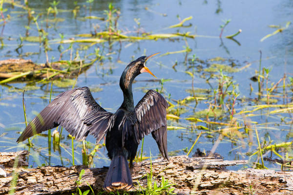 Wall Art - Photograph - Anhinga Shouts by Ellie Teramoto