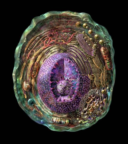 Golgi Photograph - Animal Cell by Russell Kightley/science Photo Library
