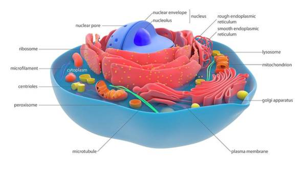Photograph - Animal Cell by Science Photo Library