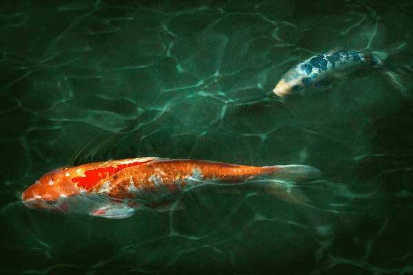 Koi Photograph - Animal - Fish - Koi - Another Fish Story by Mike Savad