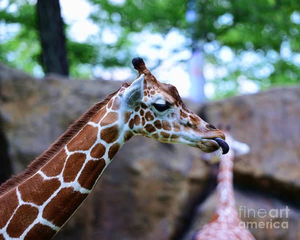 Giraffe Photograph - Animal - Giraffe - Sticking Out The Tounge by Paul Ward