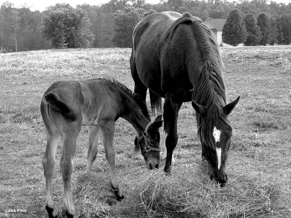 Photograph - Lunch - Mare And Foal B/w by Lesa Fine