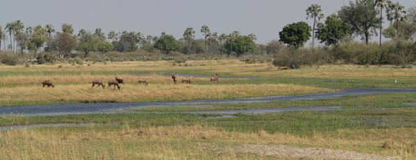 Okavango Delta Photograph - Animals In A Forest, Moremi Game by Panoramic Images