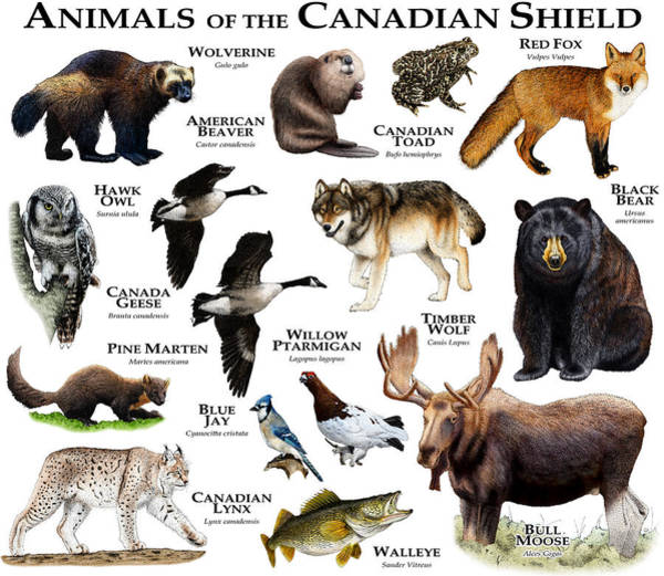 Timberwolves Photograph - Animals Of The Canadian Shield by Roger Hall
