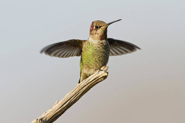 Wall Art - Photograph - Anna's Hummingbird (calypte Anna by Larry Ditto