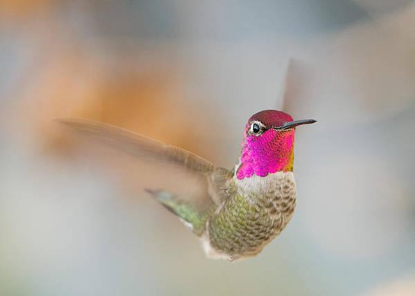 Wall Art - Photograph - Anna's Hummingbird by Doug Herr