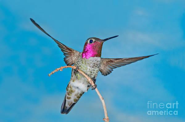 Photograph - Annas Hummingbird Male by Anthony Mercieca