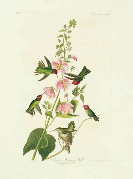 Hummingbird Feeder Photograph - Anna's Hummingbird by Natural History Museum, London/science Photo Library