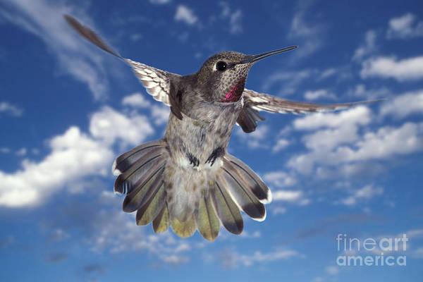 Photograph - Annas Hummingbird by Ron Sanford