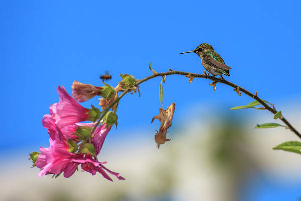 Annas Hummingbird Photograph - Anna's Hummingbird Studying A Bee by Tom Norring