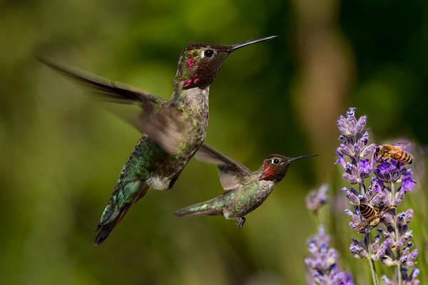 Wall Art - Photograph - Anna's Hummingbirds In Flight by Kathleen Bishop