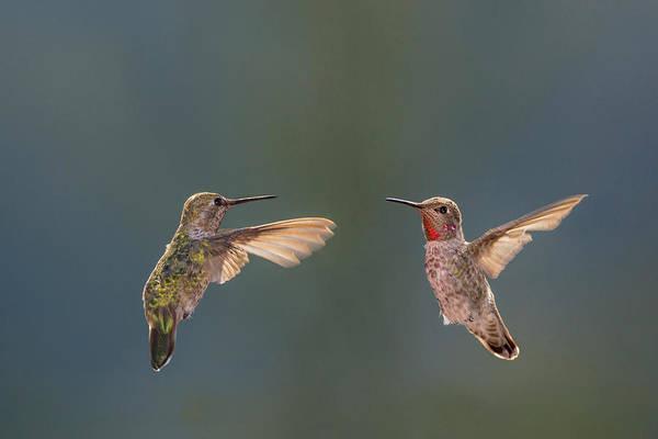 Hummingbird Feeder Photograph - Anna's Hummingbirds by Tom Norring