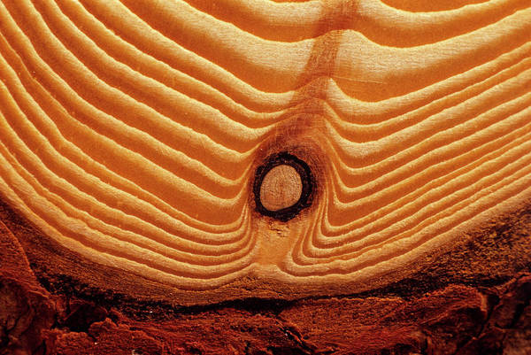 Knot Photograph - Annual Growth Rings by Andrew Ackerley/science Photo Library