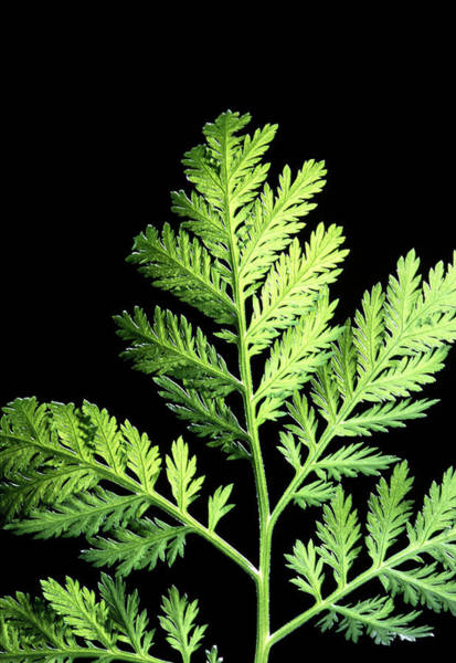 Wall Art - Photograph - Annual Wormwood (artemisia Annua) by Scott Bauer/us Department Of Agriculture/science Photo Library