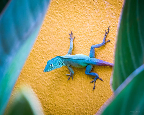 Photograph - Anole by Frank Mari