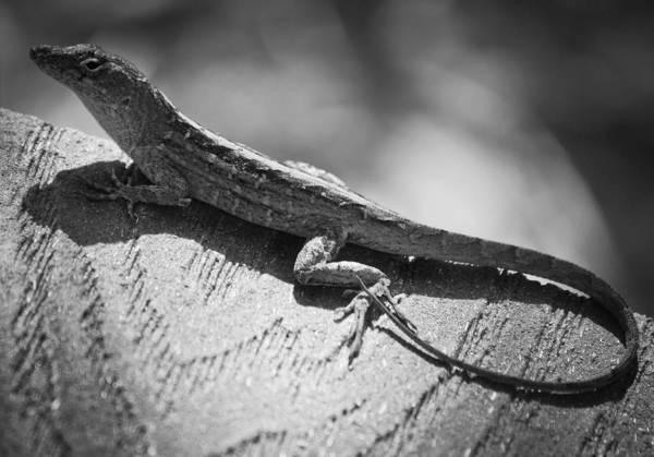 Critters Photograph - Anole by Matthew Blum